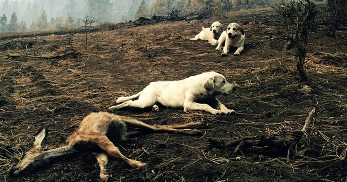 After Wildfire Breaks Out, Man Finds Family of Sheep Dogs Protecting Deer From Predators