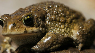 Female Suriname Toads Incubate Their Young In The Skin Of Their