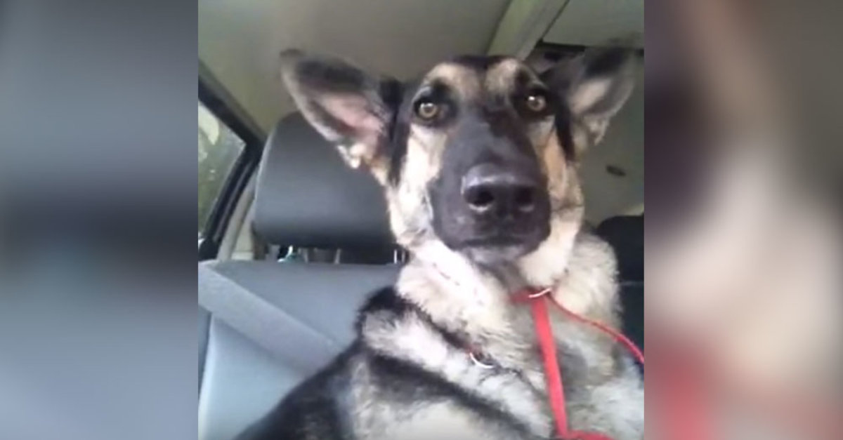 German Shepherd's Favorite Song Starts Playing And Her Dance Moves Are Lighting Up The Internet