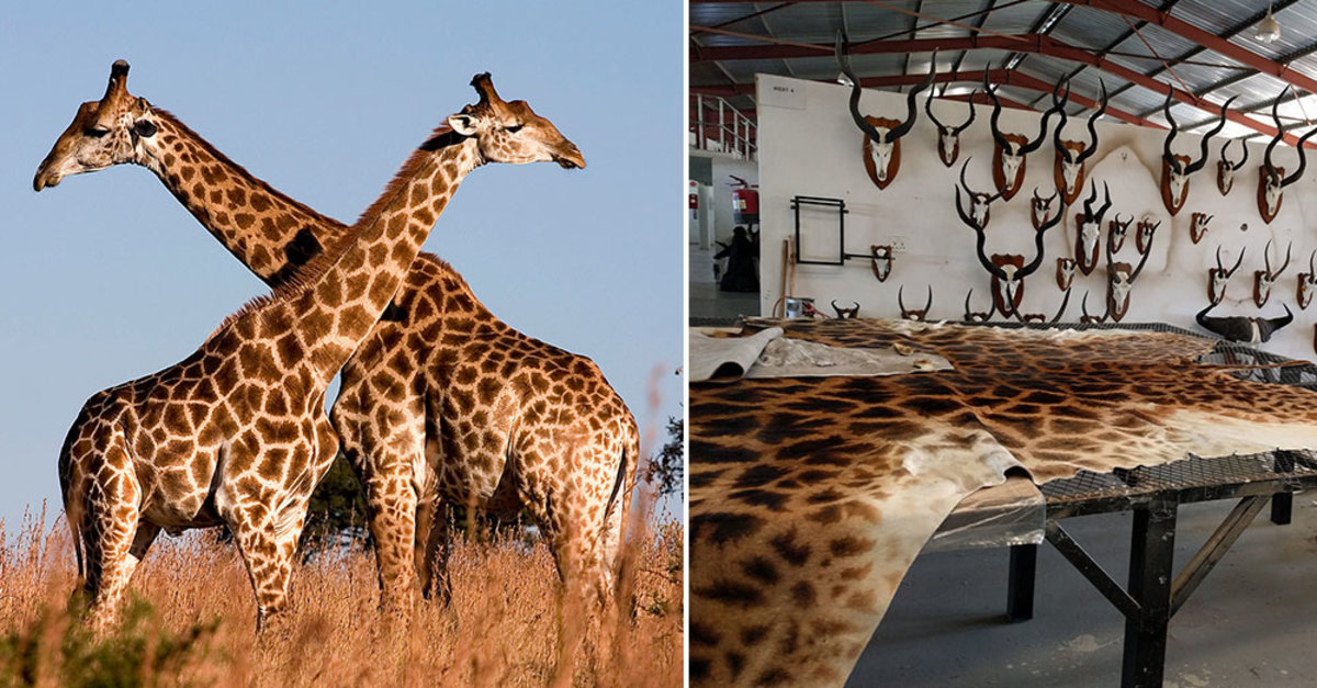 40 000 Giraffe Parts Were Imported Into U S In Last Decade While Species Suffers 40 Percent Decline The Animal Rescue Site News