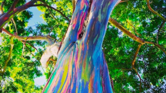 When This Tree Sheds It S Skin The Most Beautiful Thing Happens