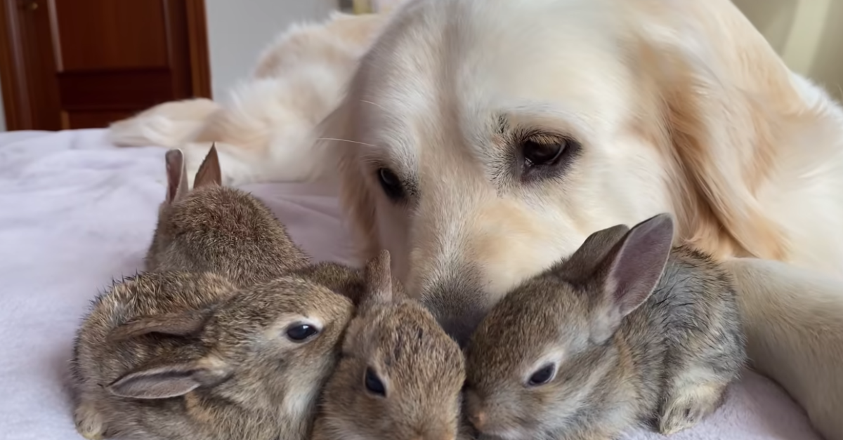 Baby Bunnies Think A Golden Retriever Is Their Dad