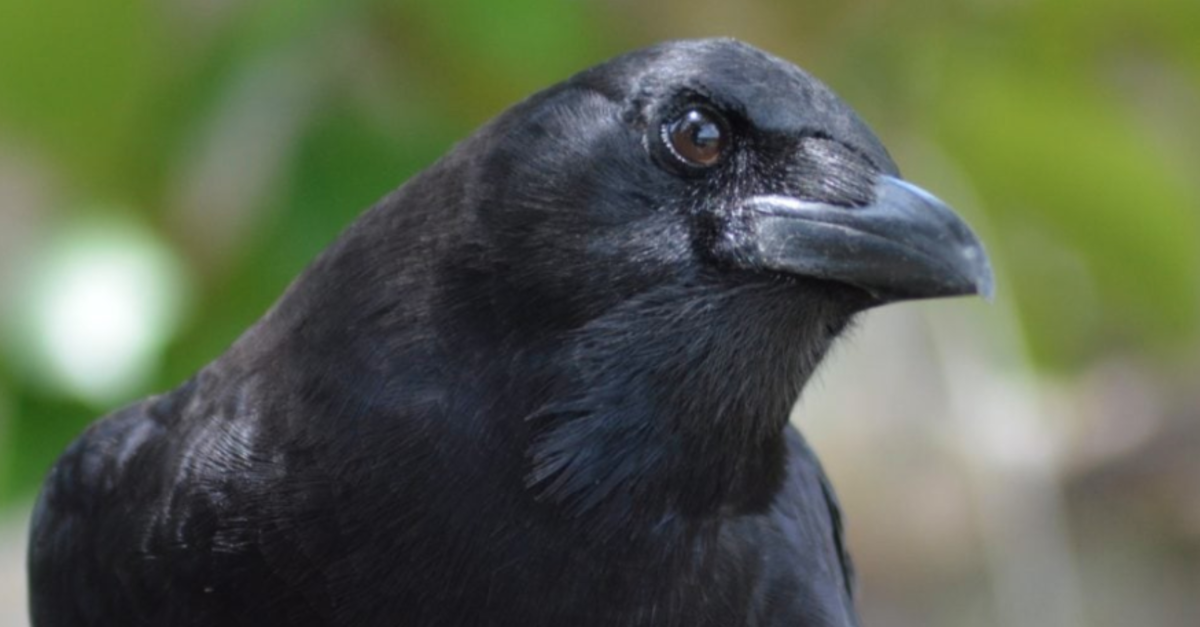 Crows Can Apparently Hold Grudges For Years – Just Like Humans