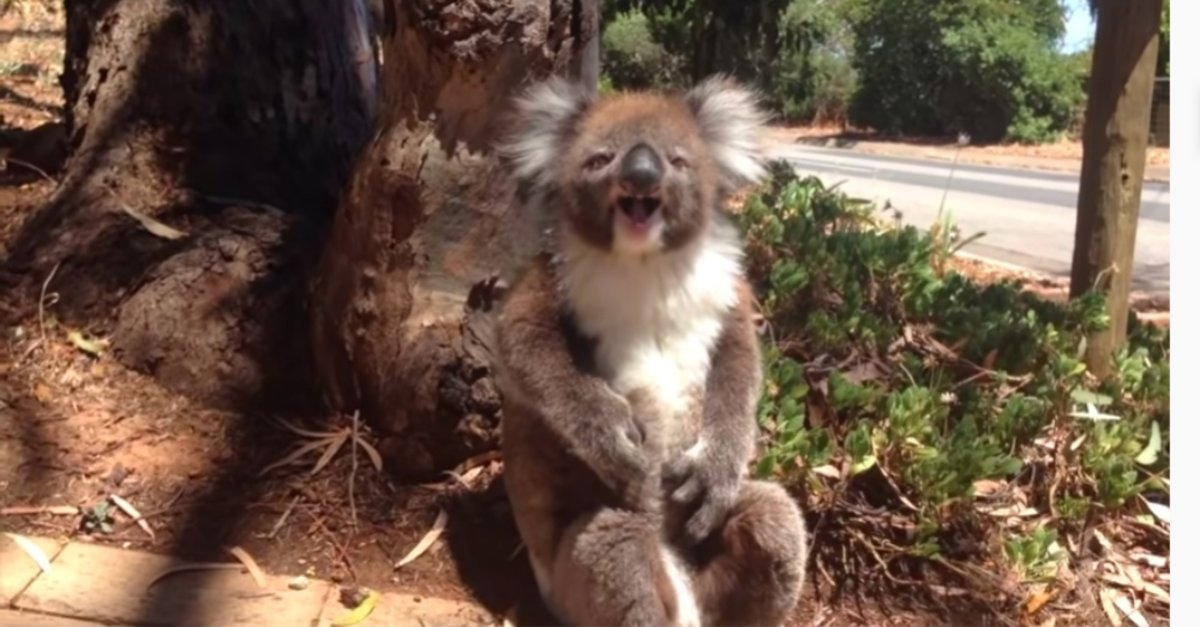 Koala Bear Gets Kicked Out Of Tree And Throws A Fit