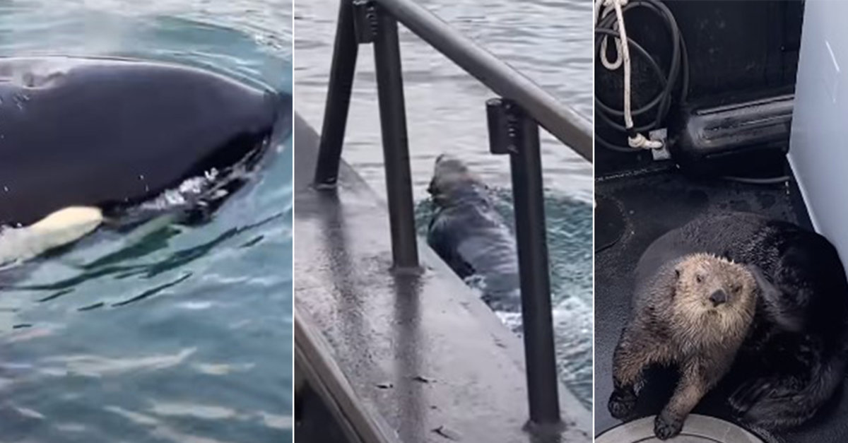 Watch Hungry Killer Whale Chase Otter Who Escapes In The Nick Of Time