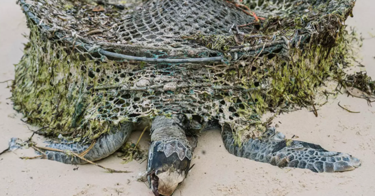 Beach Clean-Up Finds Dead Sea Turtles Covered In Plastic And Old Fishing Gear