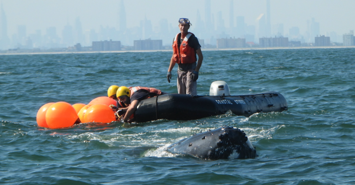 Humpback Whales Return To New York Area After Nearly Vanishing
