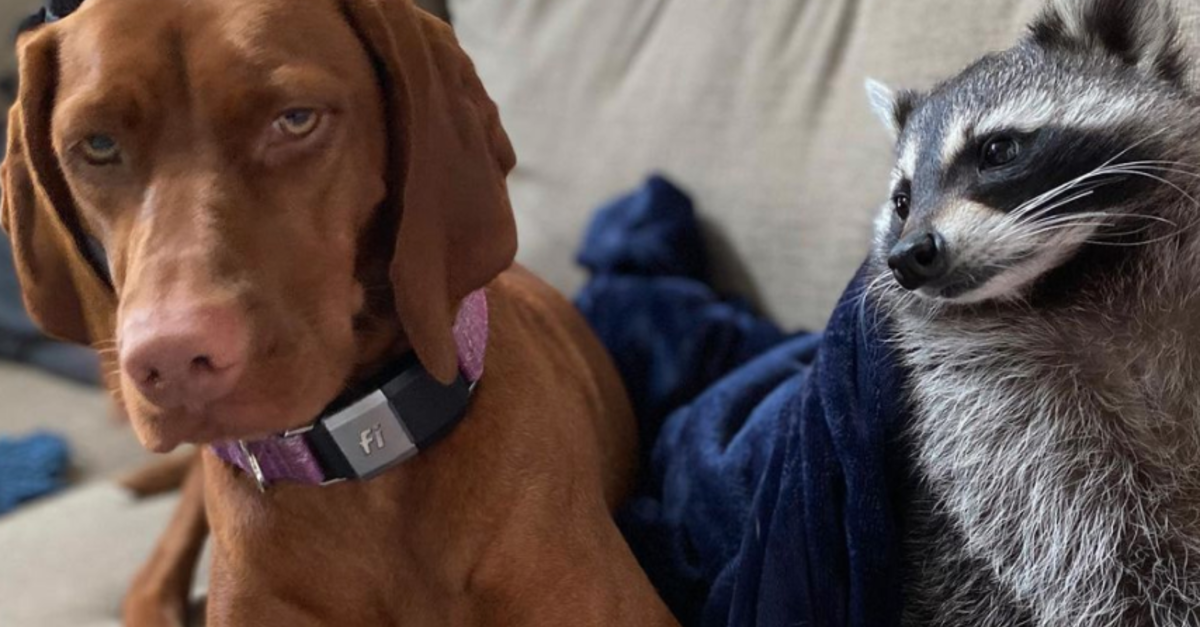 Rescue Raccoon And Dog Become The Unlikeliest Of Friends