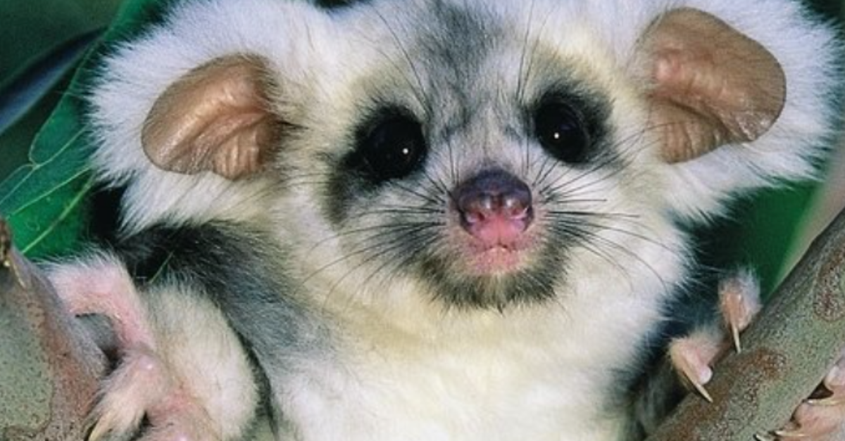 Researchers Discover Two New Species Mammals In Australia
