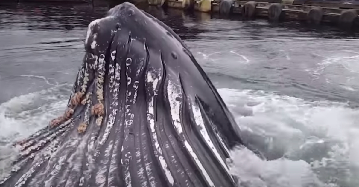 Fisherman Watches As Humpback Whale Swim Under Boats And Breaches Feet From The Dock