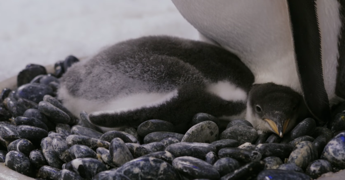 Same-Sex Penguin Couple Successfully Parent A Second Baby