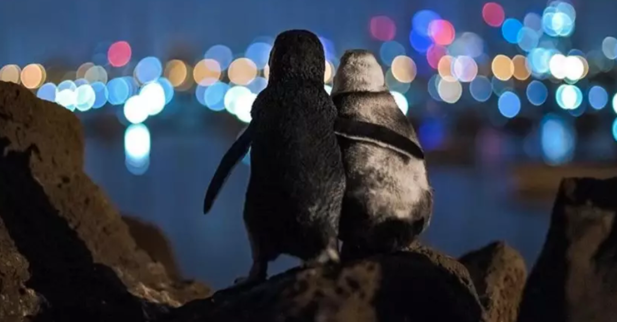 Viral Photo Of Widowed Penguins Watching The Skyline Wins Photography Award