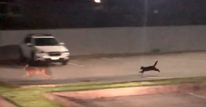 Video Captures Rare Moment A Cat Chases Away A Coyote