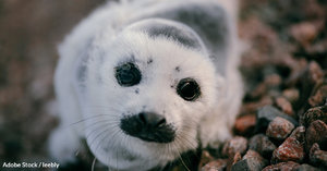 Canada's Annual Seal Hunt Continues, Despite Dwindling Popularity