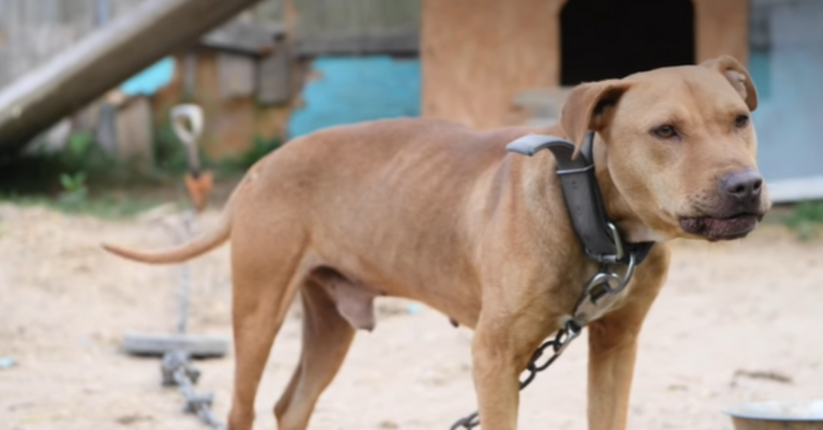 Dogs Rescued From Suspected Dogfighting Ring