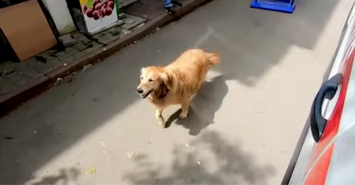 Golden Retriever Chases Owner Inside An Ambulance To The Hospital