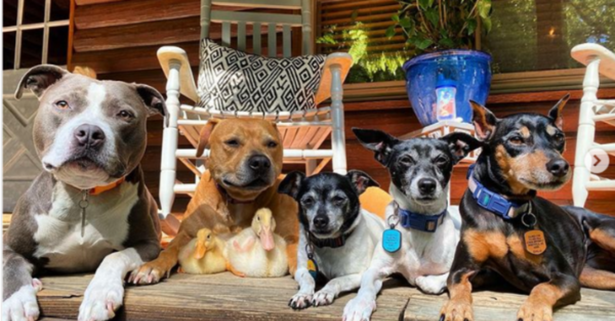 Rescued Pit Bulls, Terriers, 2 Ducklings, And A Cat Are Best Friends