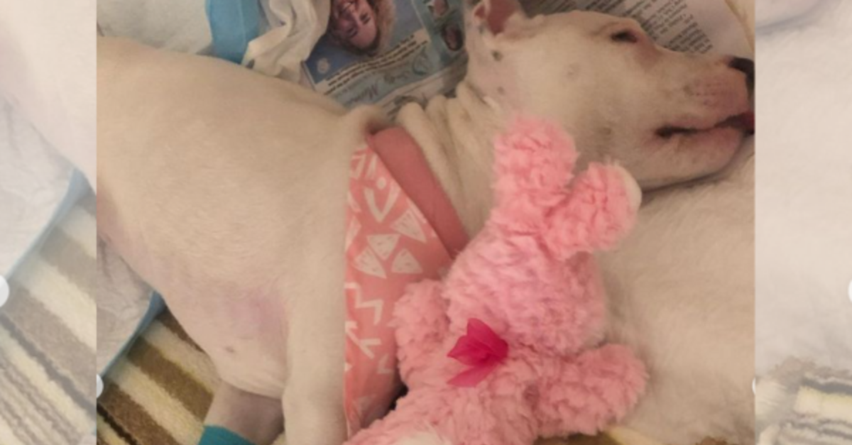 Pittie Pup Paralyzed By Tetanus Got A New Lease On Life