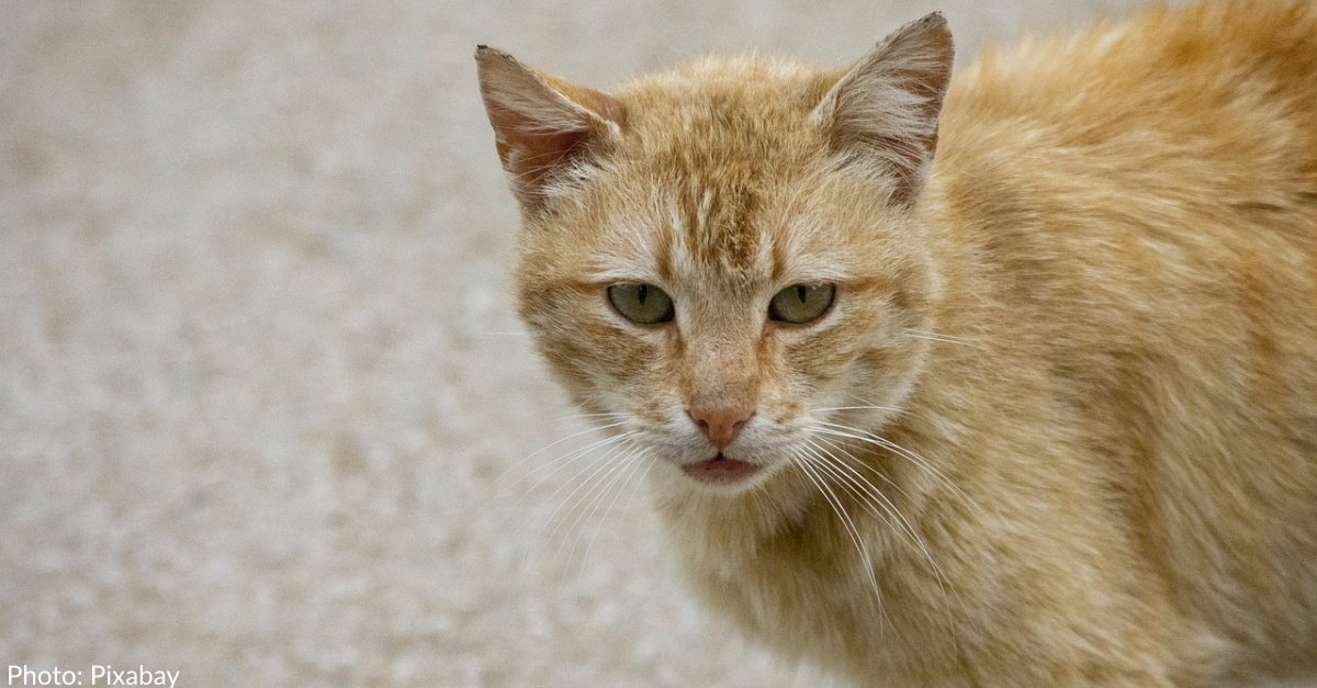 Cat Recovering After Being Shot With Crossbow By Neighbor
