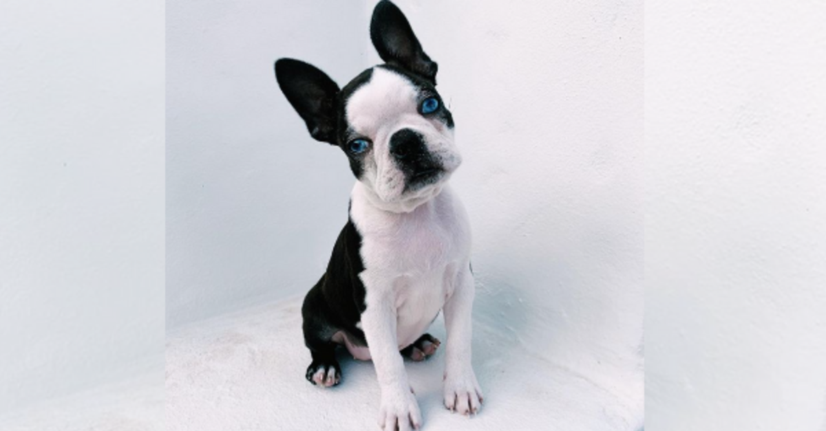Blue-Eyed Boston Terrier Finds Forever Home