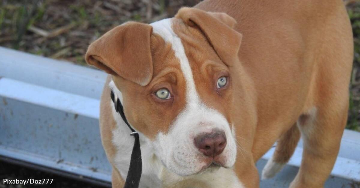 Former Bait Dog Finds Loving Home That Helps Him Heal