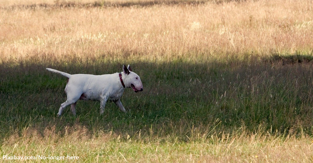 Bull Terrier Steps Up As Big Brother To Rescued Gosling