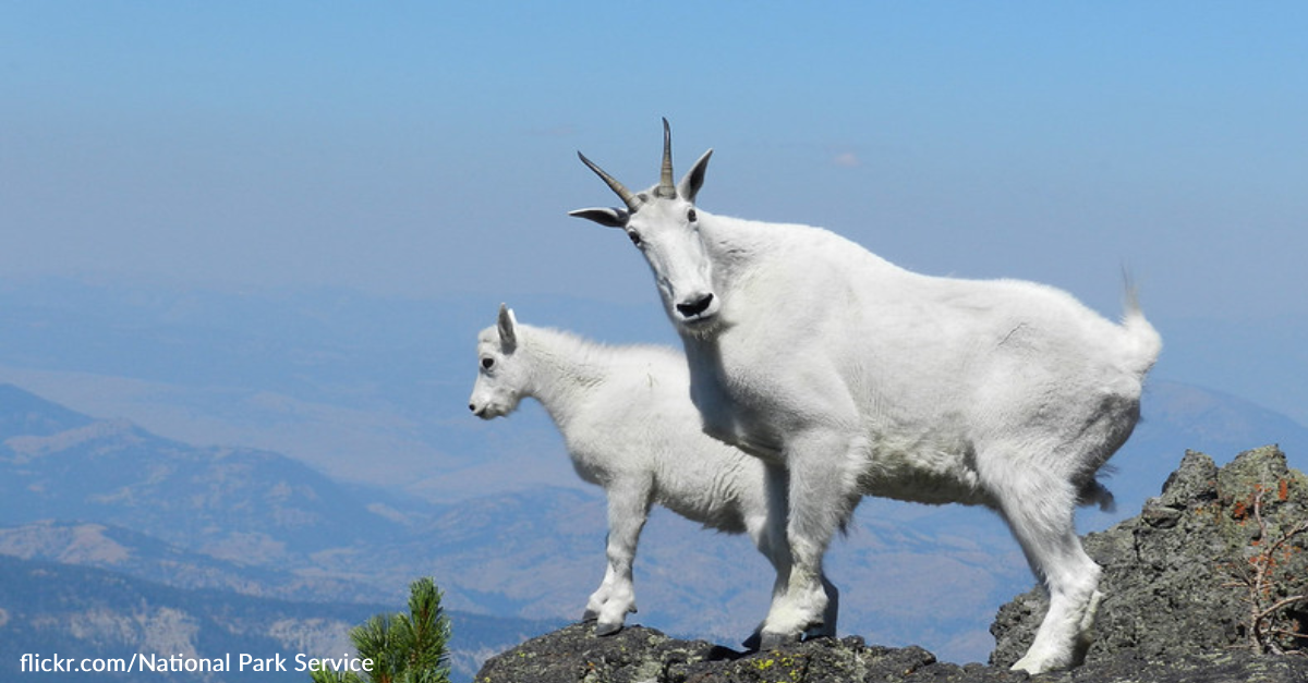 Hiker Shares Beautiful Moment With Mountain Goats On Top Of Mountain Peak