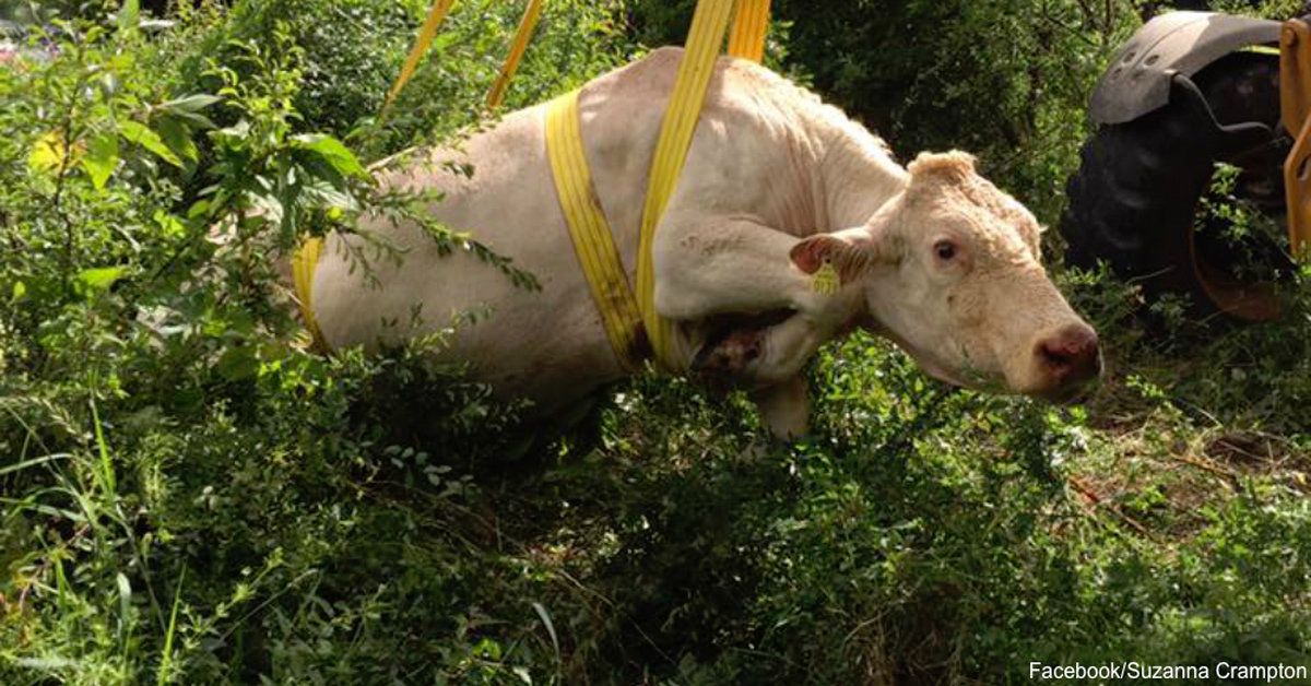 It Takes A Village Neighbors Rally Together To Rescue Cow