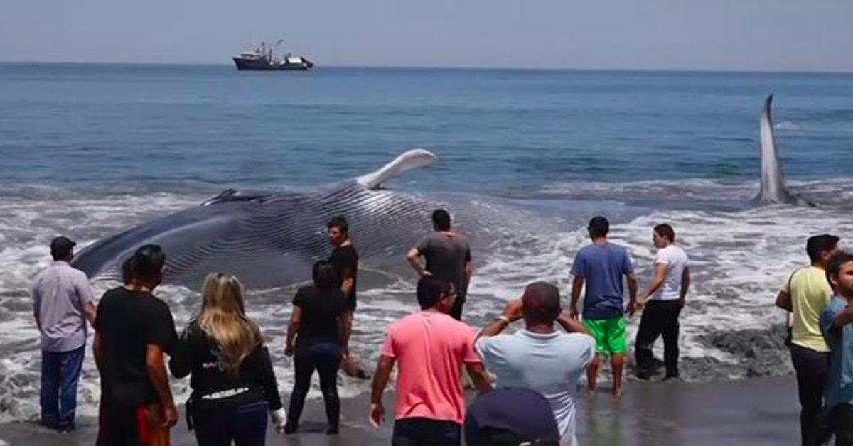 Image result for A Giant Whale Washed Up On Shore, But Strangers Banded Together To Give Her A Second Chance At Life