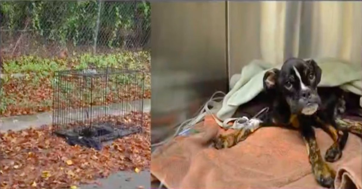Dying Puppy Was Found Abandoned In A Crate On The Side Of