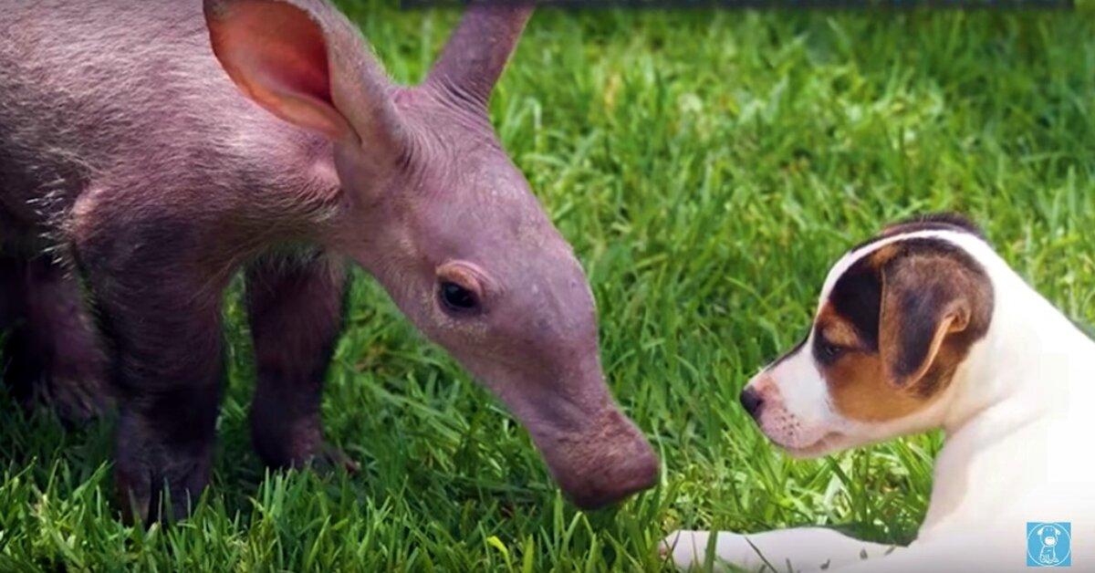 Baby Aardvark Needed A...