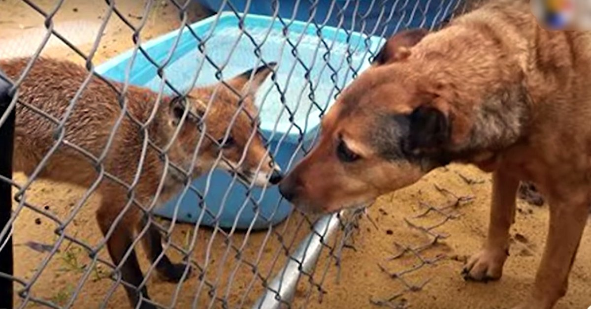 Little Fox Is In Love With Her Rescue Dog