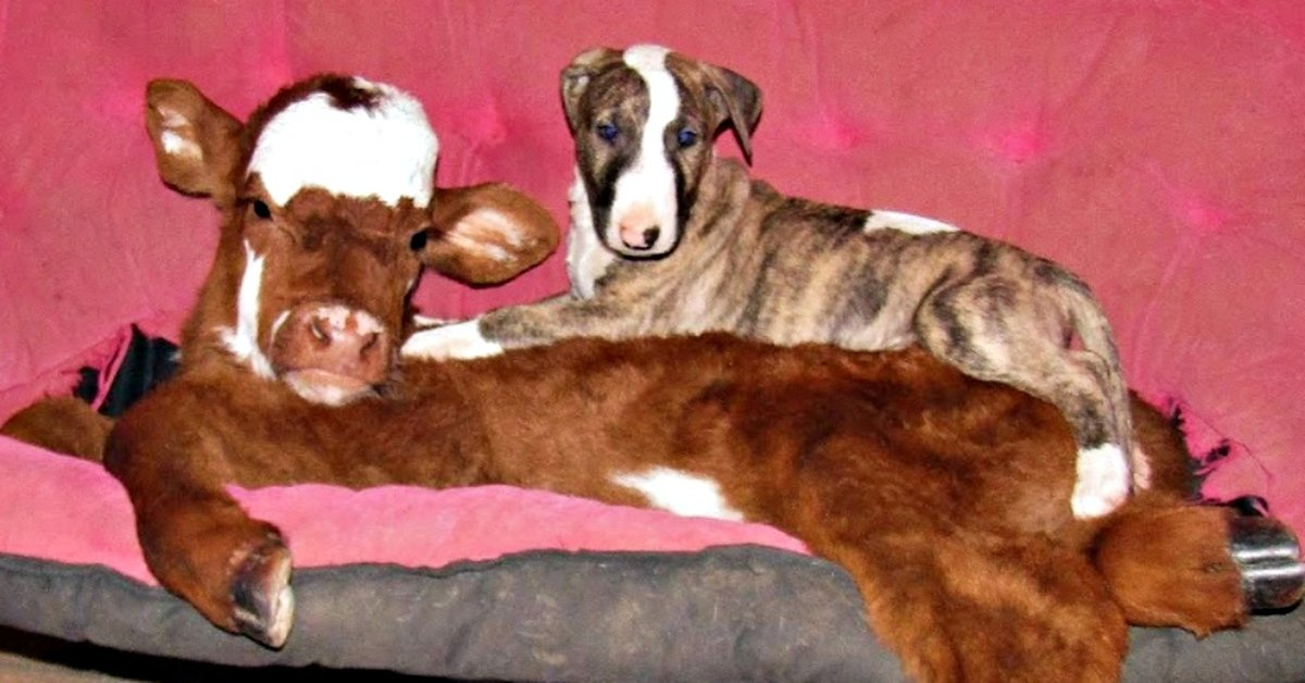 Saved From Auction, Mini Baby Cow Is Now Just One Of The Dogs!