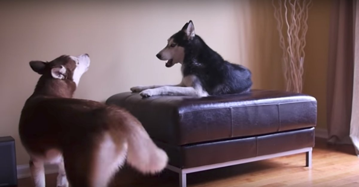 Watch These Talking Dogs Bicker