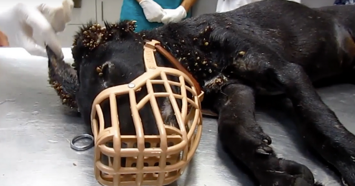 Stray Pup Covered In Thousands Of Ticks And Wire Embedded In Her Tail Shows Her True Strength