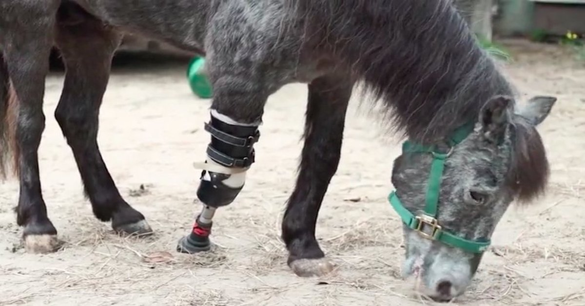 molly pony with prothesis Molly the pony molly was rescued by kaye and glenn harris after hurricane katrina  molly has stump changes and needs a new prosthesis from time to time molly .