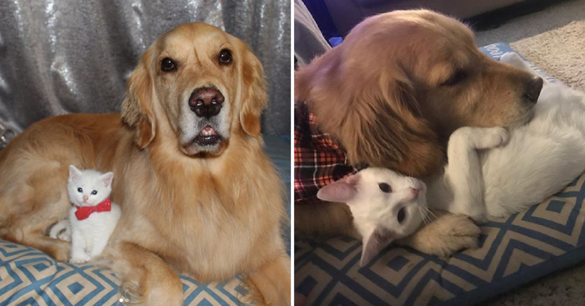 Lovable Therapy Dog Meets Tiny Rescue Kitten, Now They Are Completely Inseparable