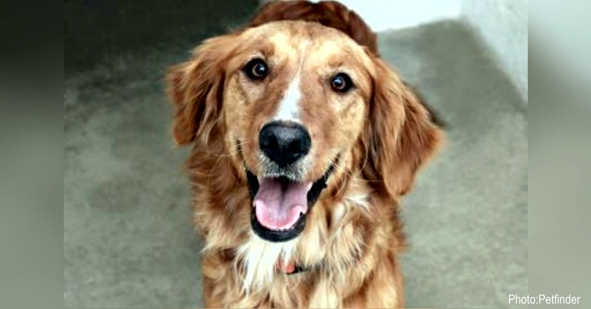 25 Golden Retrievers That Need A Home Now The Animal Rescue Site News