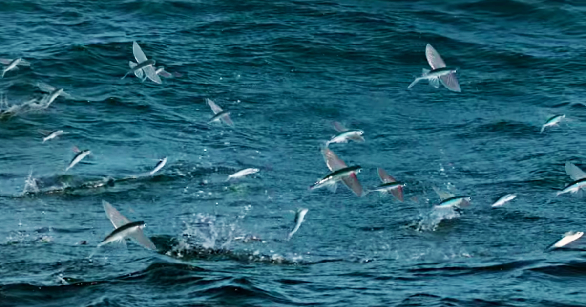 Incredible flying fish escape dorado only to be faced with for Flying fish images