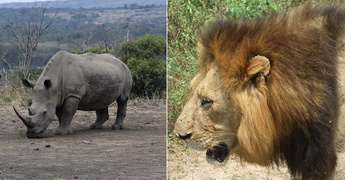 Lions Eat Poachers Who Broke Into Game Reserve To Kill Rhinos