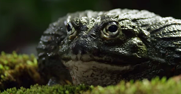 Devoted African Bullfrog Dad Sees His Tadpoles In Trouble And Uses His Powerful Legs To Save Them The Rainforest Site News,Pyramid Card Game Setup