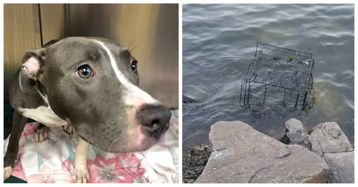 Young Pit Bull Left In Cage To Drown As Tide Rose On New Jersey Shore