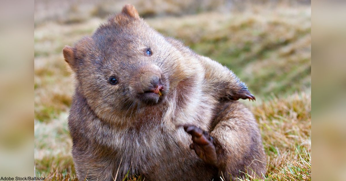 Why Is Wombat Poop Cube-Shaped? Scientists Used Balloons And Roadkill To Find Out