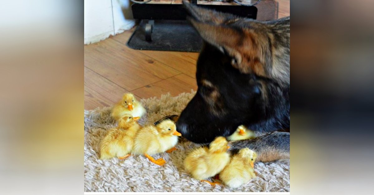 Mom Catches German Shepherd's Sweet Way Of Caring For Flock Of Baby Chicks.