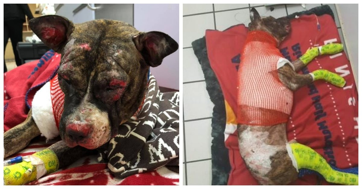 $10,000 Reward To Find Monster That Tied A Pit Bull To A Pole And Set Him On Fire