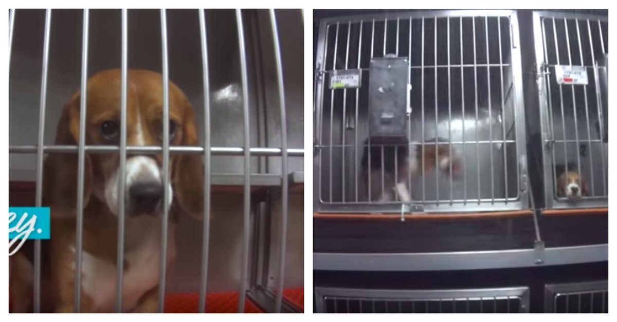 Beagles Poisoned With Pesticides And Drugs
