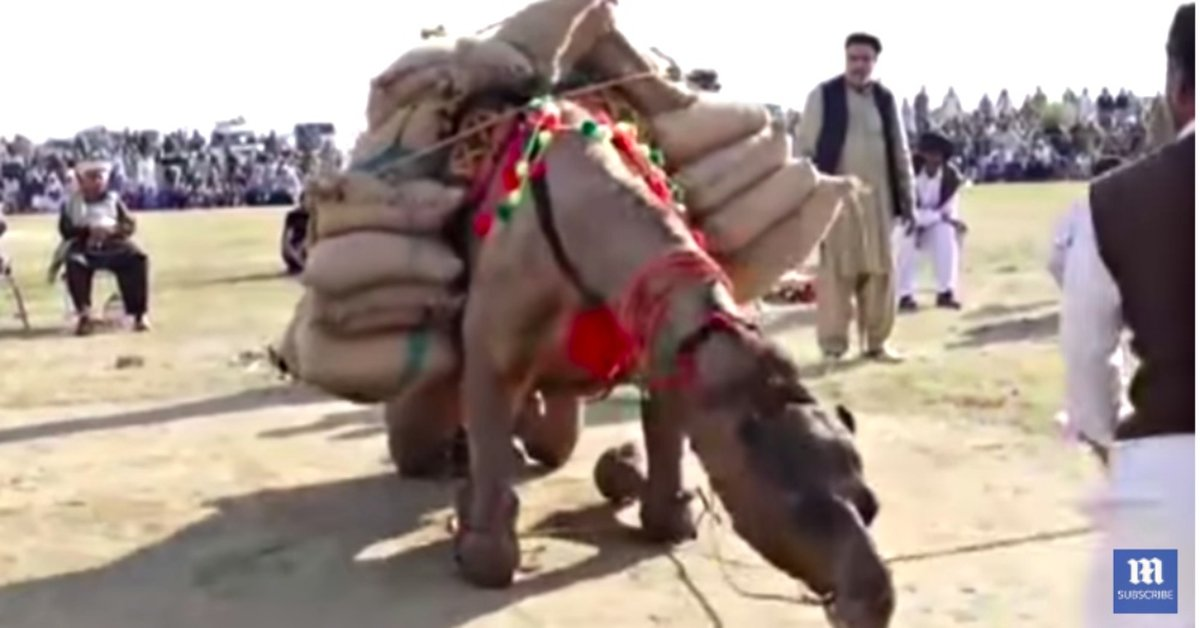 Camels Forced To Participate In Cruel Annual Weight-Lifting Contest In Pakistan