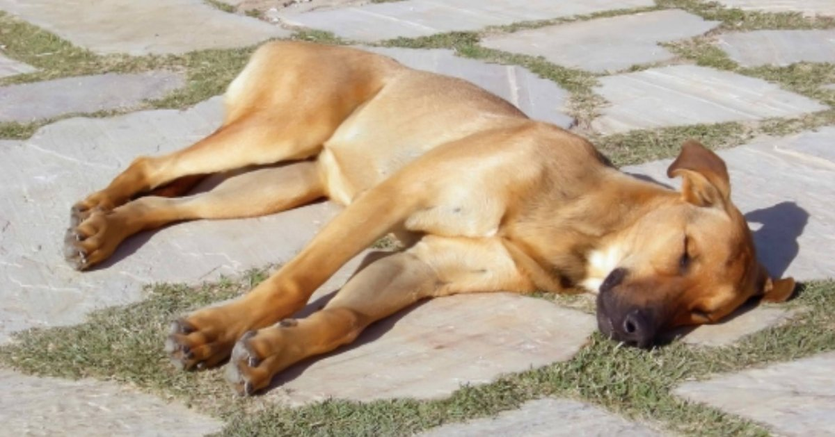 Dog Dies After Routine Walk And Now Owner Is Warning Others About The Signs Of Heat Stroke