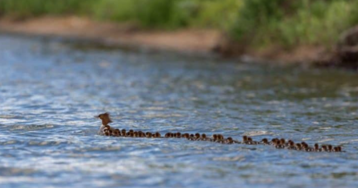 """Super Mom"" Mother Duck Caught On Video With 76 Ducklings In Tow"