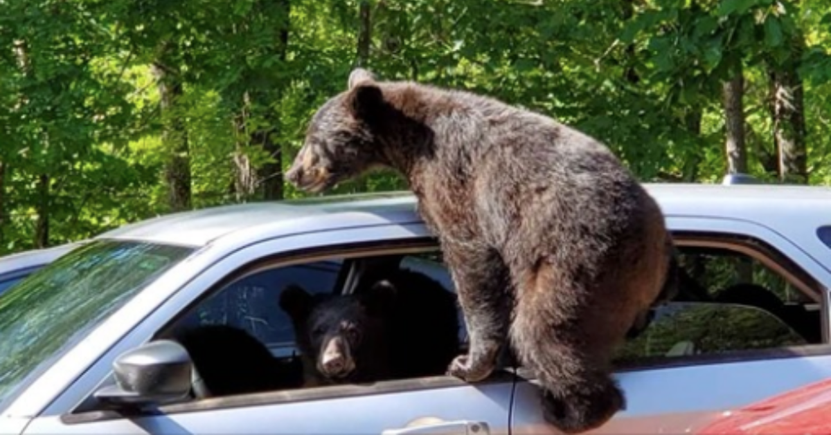 Guy Walks Outside And Finds An Entire Family Of Bears In His Car
